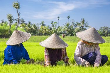 three Indonesians working in rice field
